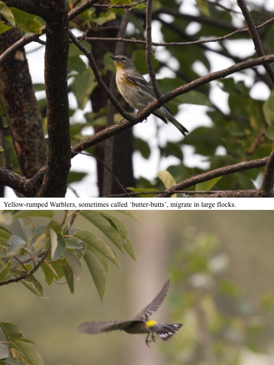 Yellow-rumped Warblers, sometimes called 'butter-butts', migrate in large flocks.