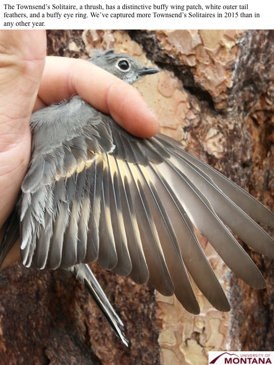 The Townsend's Solitaire, a thrush, has a distinctive buffy wing patch, white outer tail feathers, and a buffy eye ring. We've captured more Townsend's Solitaires in 2015 than in any other year.