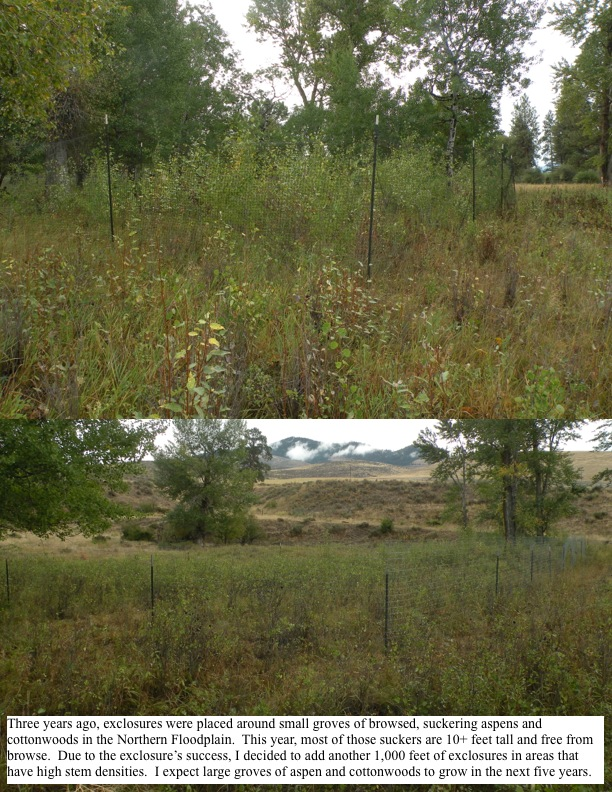 Three years ago, exclosures were placed around small groves of browsed, suckering aspens and cottonwoods in the Northern Floodplain. This year, most of those suckers are 10+ feet tall and free from browse. Due to the exclosure's success, I decided to add another 1,000 feet of exclosures in areas that have high stem densities. I expect large groves of aspen and cottonwoods to grow in the next five years.