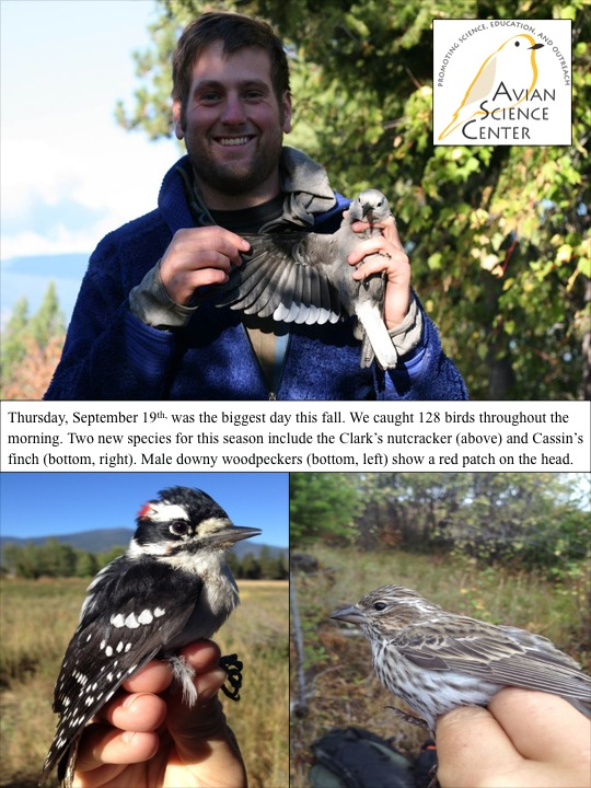 Thursday, September 19th, was the biggest day this fall. We caught 128 birds throughout the morning. Two new species for this season include the Clark's nutcracker (above) and Cassin's finch (bottom, right). Male downy woodpeckers (bottom, left) show a red patch on the head.