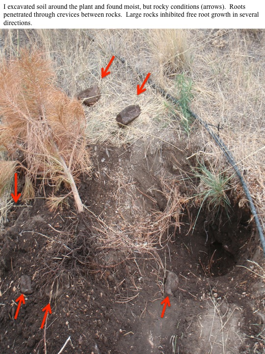 I excavated soil around the plant and found moist, but rocky conditions (arrows). Roots penetrated through crevices between rocks. Large rocks inhibited free root growth in several directions.