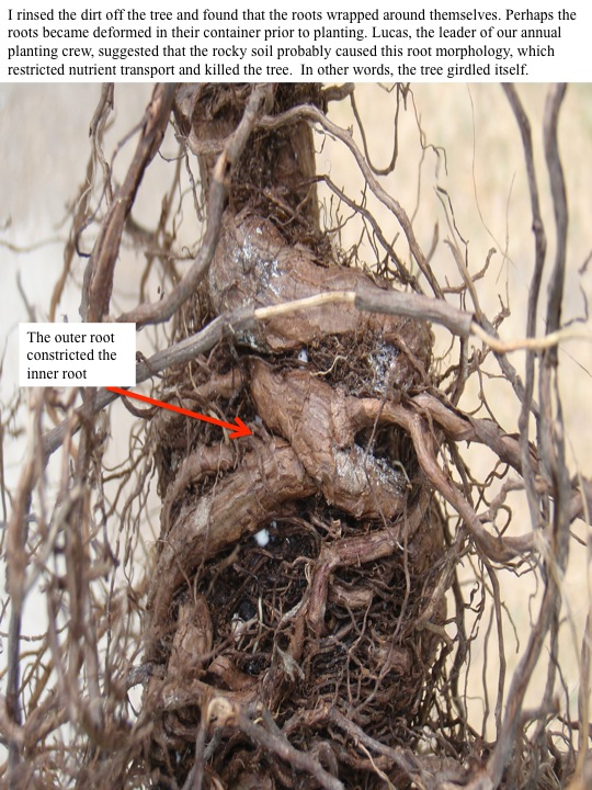 I rinsed the dirt off the tree and found that the roots wrapped around themselves. Perhaps the roots became deformed in their container prior to planting. Lucas, the leader of our annual planting crew, suggested that the rocky soil probably caused this root morphology, which restricted nutrient transport and killed the tree. In other words, the tree girdled itself.