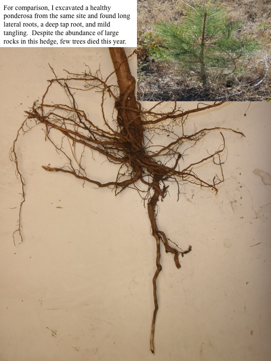 For comparison, I excavated a healthy ponderosa from the same site and found long lateral roots, a deep tap root, and mild tangling. Despite the abundance of large rocks in this hedge, few trees died this year.