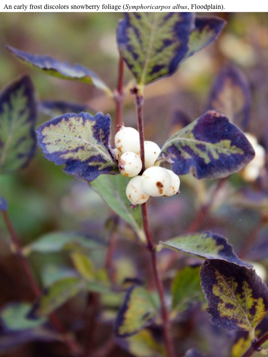 An early frost discolors snowberry foliage (Symphoricarpos albus, Floodplain).