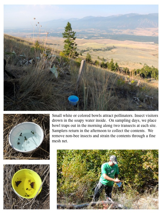 Small white or colored bowls attract pollinators. Insect visitors drown in the soapy water inside. On sampling days, we place bowl traps out in the morning along two transects at each site. Samplers return in the afternoon to collect the contents. We remove non-bee insects and strain the contents through a fine mesh net.