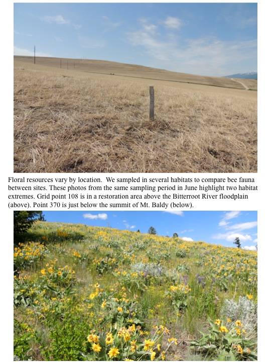 Floral resources vary by location. We sampled in several habitats to compare bee fauna between sites. These photos from the same sampling period in June highlight two habitat extremes. Grid point 108 is in a restoration area above the Bitterroot River floodplain (above). Point 370 is just below the summit of Mt. Baldy (below).