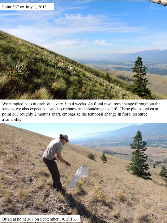 We sampled bees at each site every 3 to 4 weeks. As floral resources change throughout the season, we also expect bee species richness and abundance to shift. These photos, taken at point 367 roughly 2 months apart, emphasize the temporal change in floral resource availability.