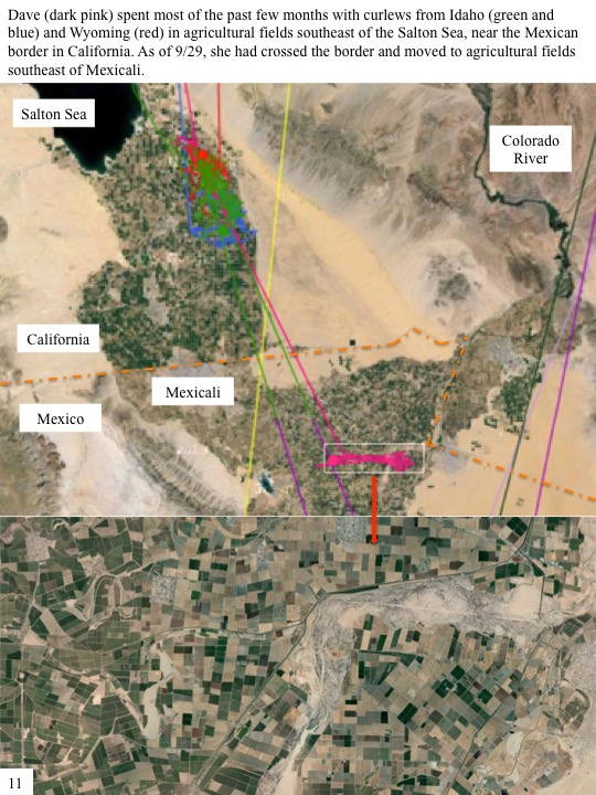 Dave (dark pink) spent most of the past few months with curlews from Idaho (green and blue) and Wyoming (red) in agricultural fields southeast of the Salton Sea, near the Mexican border in California. As of 9/29, she had crossed the border and moved to agricultural fields southeast of Mexicali.