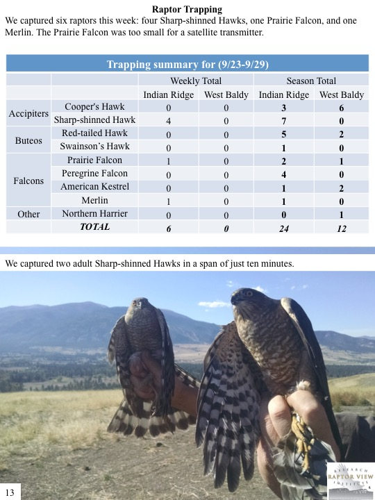 We captured six raptors this week: four Sharp-shinned Hawks, one Prairie Falcon, and one Merlin. The Prairie Falcon was too small for a satellite transmitter.