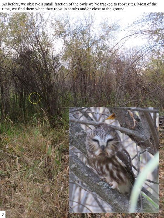 As before, we observe a small fraction of the owls we've tracked to roost sites. Most of the time, we find them when they roost in shrubs and/or close to the ground.