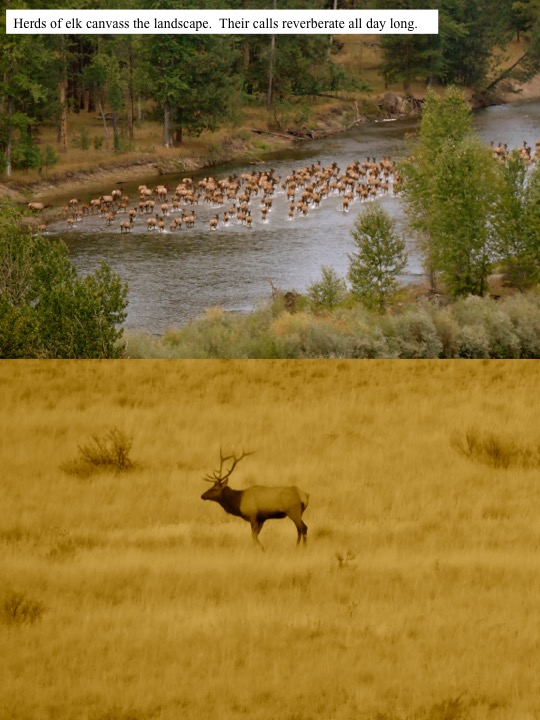 Herds of elk canvass the landscape. Their calls reverberate all day long.