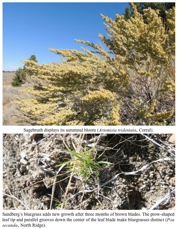 Sagebrush displays its autumnal bloom (Artemisia tridentata, Corral).