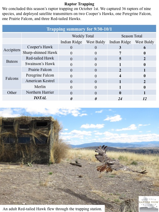 We concluded this season's raptor trapping on October 1st. We captured 36 raptors of nine species, and deployed satellite transmitters on two Cooper's Hawks, one Peregrine Falcon, one Prairie Falcon, and three Red-tailed Hawks.