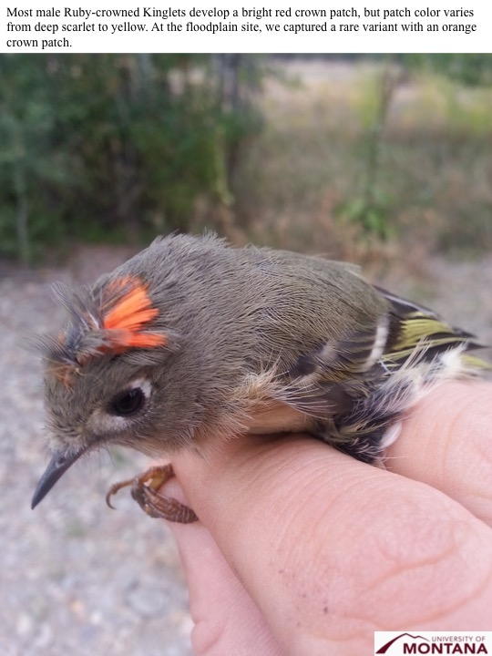 Most male Ruby-crowned Kinglets develop a bright red crown patch, but patch color varies from deep scarlet to yellow. At the floodplain site, we captured a rare variant with an orange crown patch.