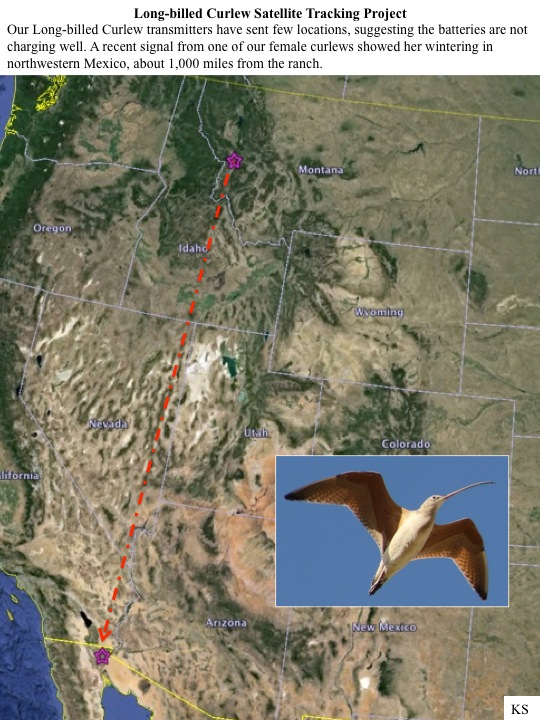 Long-billed Curlew Satellite Tracking Project Our Long-billed Curlew transmitters have sent few locations, suggesting the batteries are not charging well. A recent signal from one of our female curlews showed her wintering in northwestern Mexico, about 1,000 miles from the ranch.