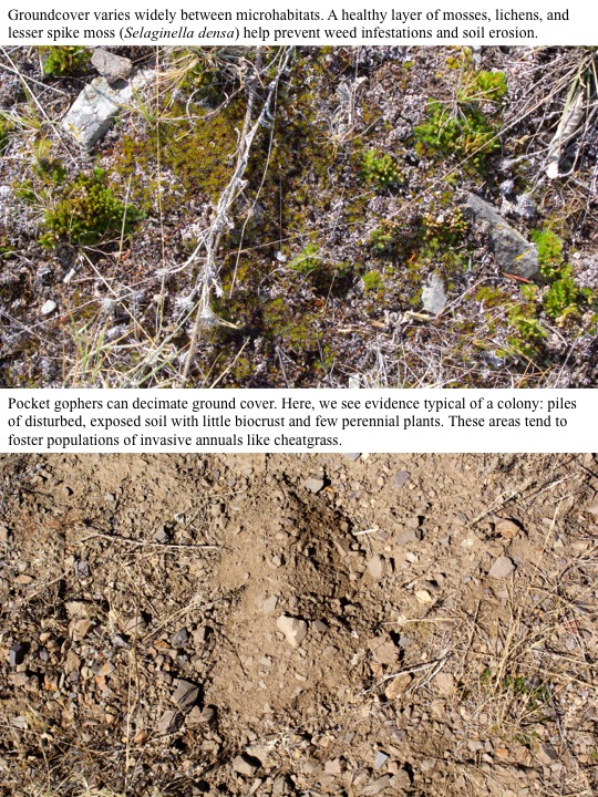 Pocket gophers can have a striking impact on ground cover. Here, we see evidence typical of a colony: piles of disturbed, exposed soil with little biocrust or perennial plants. These areas tend to foster populations of invasive annuals such as cheatgrass.