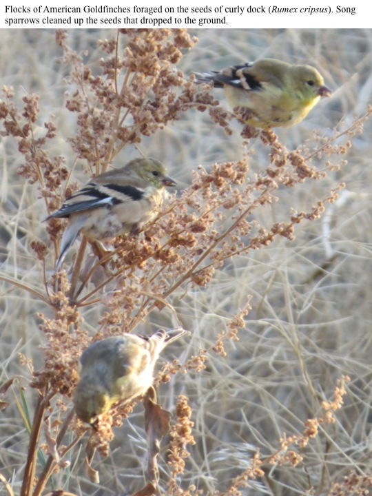Flocks of American Goldfinches foraged on the seeds of curly dock (Rumex cripsus). Song sparrows cleaned up the seeds that dropped to the ground.