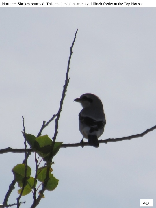 Northern Shrikes returned. This one lurked near the goldfinch feeder at the Top House.