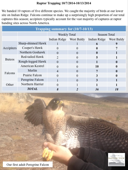 We banded 10 raptors of five different species. We caught the majority of birds at our lower site on Indian Ridge. Falcons continue to make up a surprisingly high proportion of our total captures this season; accipiters typically account for the vast majority of captures at raptor banding sites across North America.