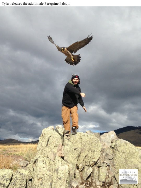 Tyler releases the adult male Peregrine Falcon.