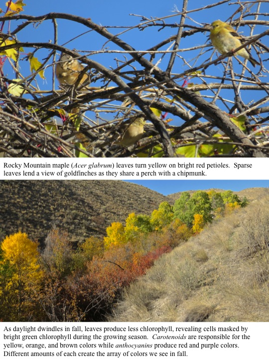Rocky Mountain maple (Acer glabrum) leaves turn yellow on bright red petioles. Sparse leaves lend a view of goldfinches as they share a perch with a chipmunk.