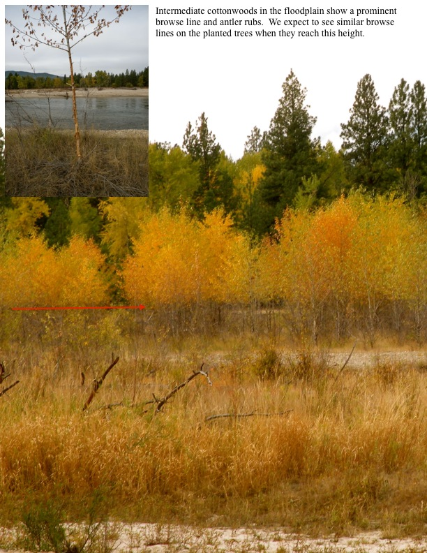 Intermediate cottonwoods in the floodplain show a prominent browse line and antler rubs. We expect to see similar browse lines on the planted trees when they reach this height.