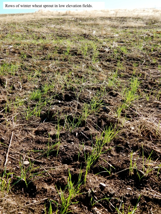 Rows of winter wheat sprout in low elevation fields.