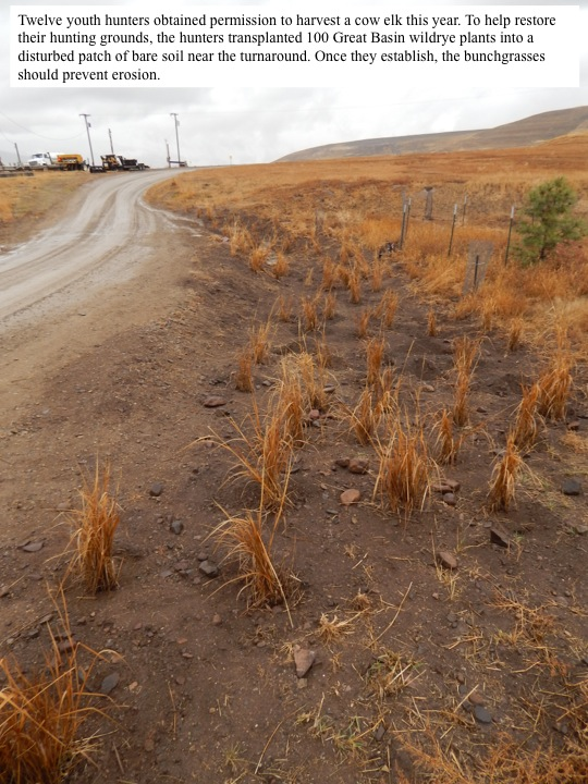 Twelve youth hunters obtained permission to harvest a cow elk this year. To help restore their hunting grounds, the hunters transplanted 100 Great Basin wildrye plants into a disturbed patch of bare soil near the turnaround. Once they establish, the bunchgrasses should prevent erosion.