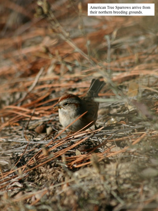 American Tree Sparrows arrive from their northern breeding grounds.