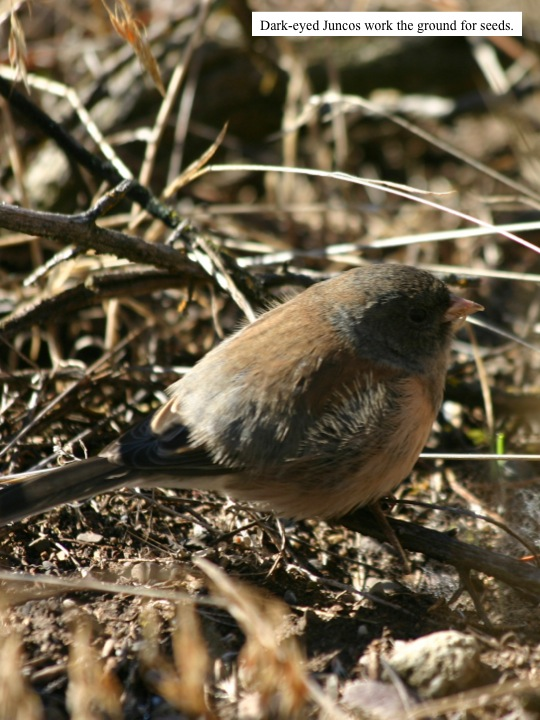 Dark-eyed Juncos work the ground for seeds.