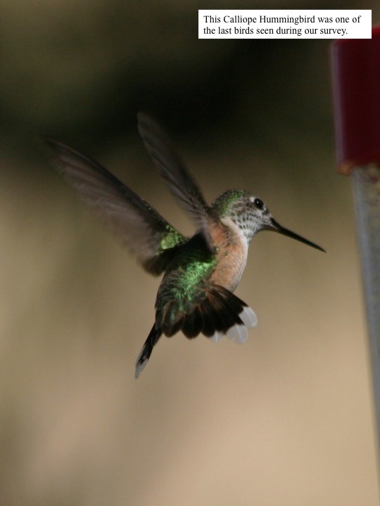 This Calliope Hummingbird was one of the last birds seen during our survey.