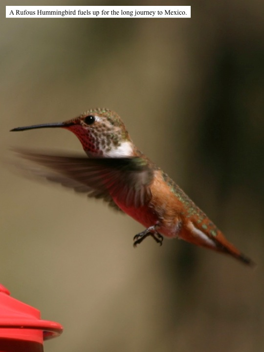 A Rufous Hummingbird fuels up for the long journey to Mexico.