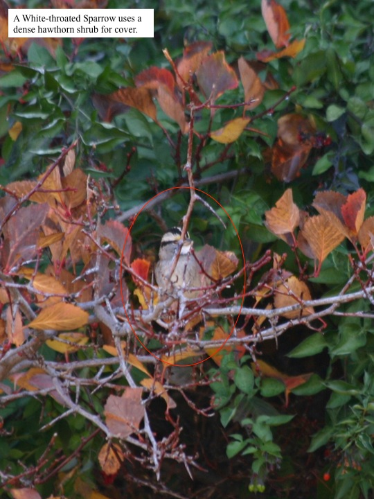 A White-throated Sparrow uses a dense hawthorn shrub for cover.