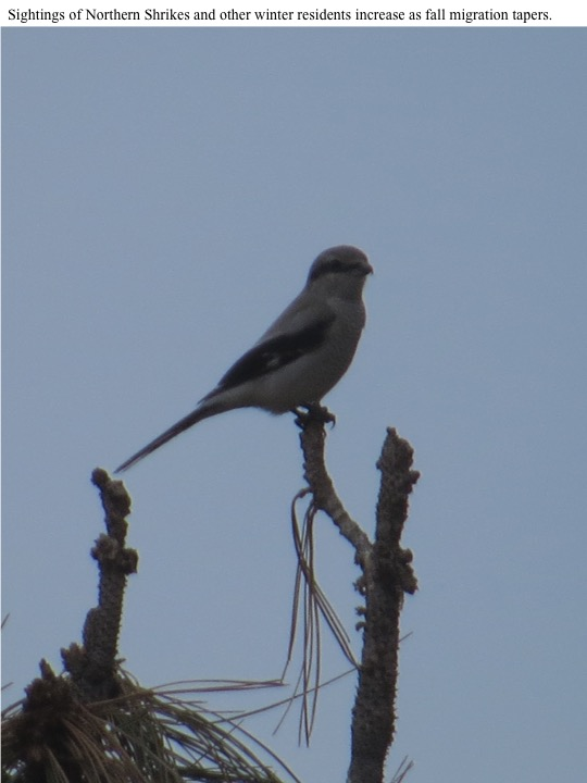 Sightings of Northern Shrikes and other winter residents increase as fall migration tapers.
