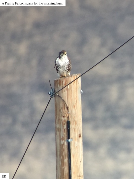 A Prairie Falcon scans for the morning hunt.