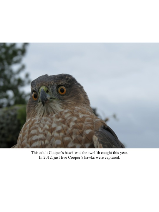 This adult Cooper's hawk was the twelfth caught this year. In 2012, just five Cooper's hawks were captured.