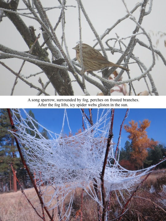 A song sparrow, surrounded by fog, perches on frosted branches. After the fog lifts, icy spider webs glisten in the sun.