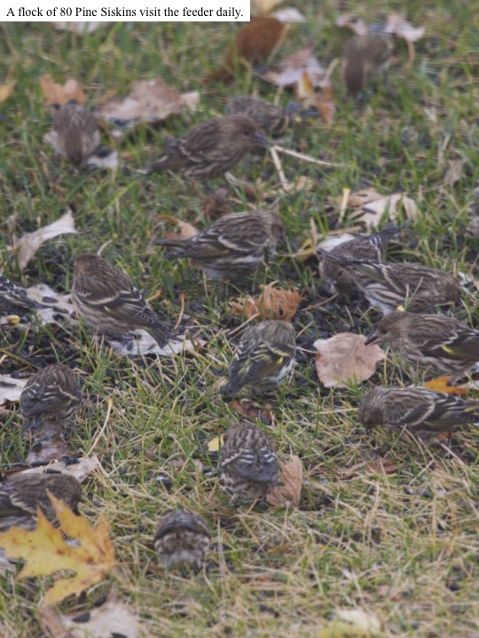 A flock of 80 Pine Siskins visit the feeder daily.