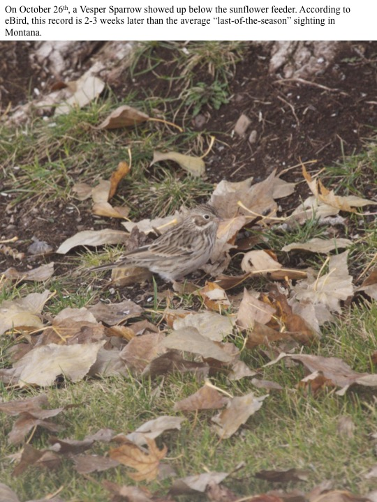 "On October 26th, a Vesper Sparrow showed up below the sunflower feeder. According to eBird, this record is 2-3 weeks later than the average ""last-of-the-season"" sighting in Montana."