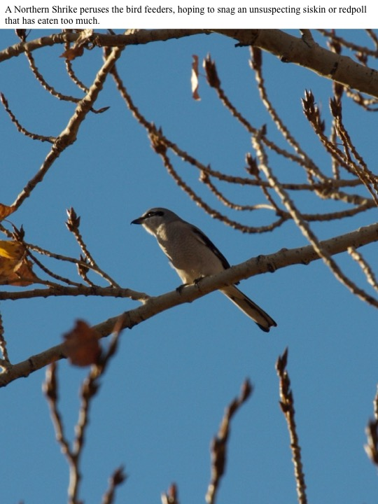 A Northern Shrike peruses the bird feeders, hoping to snag an unsuspecting siskin or redpoll that has eaten too much.