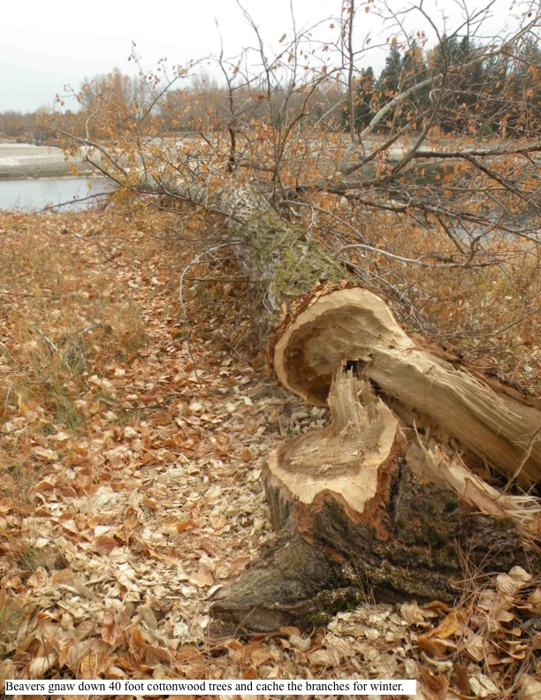 Beavers gnaw down 40 foot cottonwood trees and cache the branches for winter.