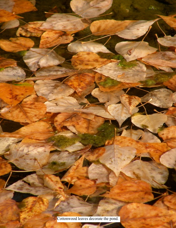 Cottonwood leaves decorate the pond.