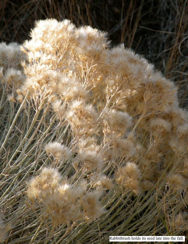 Rabbitbrush holds its seed late into the fall.