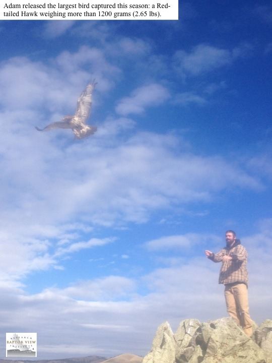 Adam released the largest bird captured this season: a Redtailed Hawk weighing more than 1200 grams (2.65 lbs).