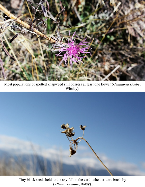 Most populations of spotted knapweed still possess at least one flower.