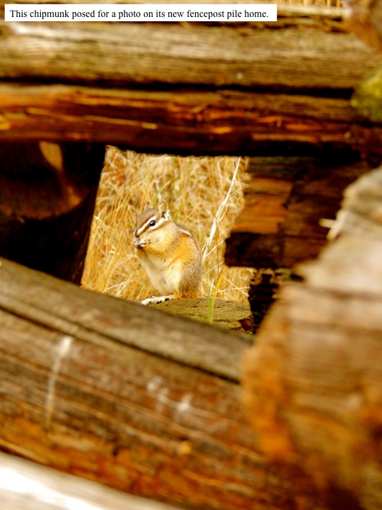 This chipmunk posed for a photo on its new fencepost pile home.