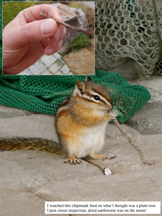 I watched this chipmunk feed on what I thought was a plant root. Upon closer inspection, dried earthworm was on the menu!
