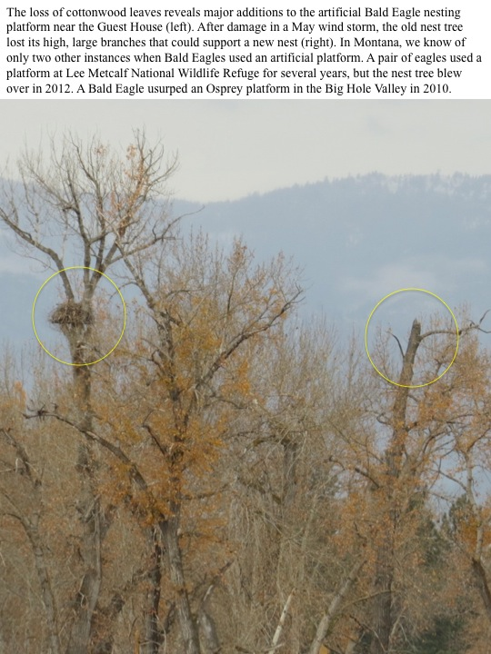 The loss of cottonwood leaves reveals major additions to the artificial Bald Eagle nesting platform near the Guest House (left). After damage in a May wind storm, the old nest tree lost its high, large branches that could support a new nest (right). In Montana, we know of only two other instances when Bald Eagles used an artificial platform. A pair of eagles used a platform at Lee Metcalf National Wildlife Refuge for several years, but the nest tree blew over in 2012. A Bald Eagle usurped an Osprey platform in the Big Hole Valley in 2010.