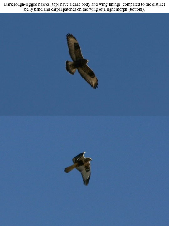 Dark rough-legged hawks (top) have a dark body and wing linings, compared to the distinct belly band and carpal patches on the wing of a light morph (bottom).