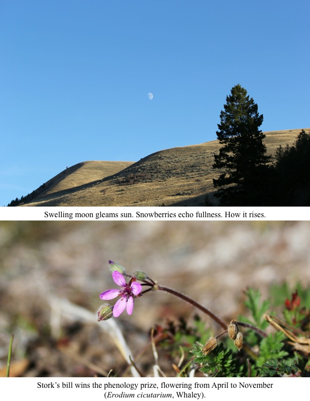 Stork's bill wins the phenology prize, flowering from April to November (Erodium cicutarium, Whaley). Swelling moon gleams sun. Snowberries echo fullness. How it rises.